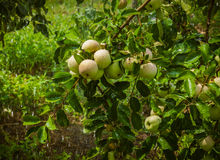 Apples on a branch Royalty Free Stock Images
