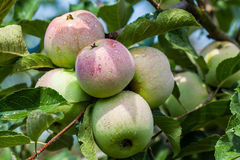 Apples on the branch Stock Images