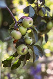 Apples on a branch. Green unripe apples on apple tree branch in a garden Royalty Free Stock Photo