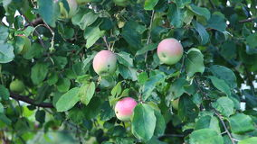 Apples on the branch stock video