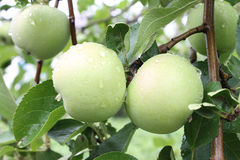 Apples on a branch Royalty Free Stock Photos