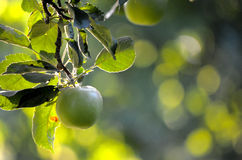 Apples on a branch ready to be harvested Stock Photography