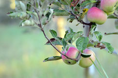 Apples on a branch ready to be harvested Stock Image