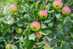Apples on a branch the red. Royalty Free Stock Images