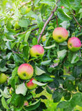 Apples on a branch the red Stock Photography