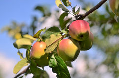 Apples on a branch. Ripe, juicy apples on a branch on a background sky, CU Stock Image