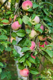 Apples on a branch. Ripe and unripe apples on the tree. Summer composition Royalty Free Stock Photos