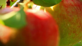 Apples on a branch.  shot slider. Close-up of apples on a branch.  shot slider stock footage