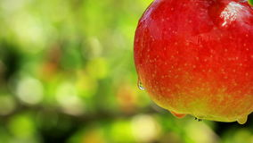 Apples on a branch.  shot slider. Close-up of apples on a branch.  shot slider stock video footage