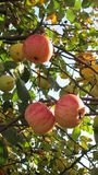 Apples on a branch with yellow leaves royalty free stock photography