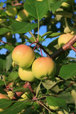 Apples on branches. Three young yellow-red apples on apple-tree branches Royalty Free Stock Photo