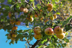 Apples branches Royalty Free Stock Image