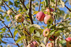 Apples on branches with selected focus over blue sky Stock Images