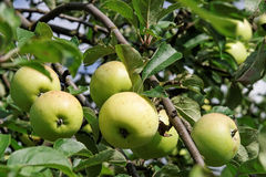 Apples on branchs. Green apples on tree in garden Stock Photos
