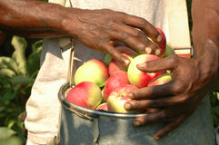 Apples in bucket. Man picking apples and placing them in a bucket Royalty Free Stock Images
