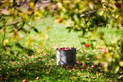 Apples in bucket Stock Image