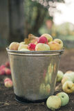 Apples in a bucket Royalty Free Stock Images