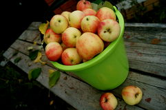 Apples in a bucket Stock Image