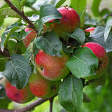 Apples bunch Royalty Free Stock Images