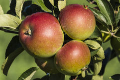 Apples. Bunch of apples on the tree ,from organic farming Stock Photos