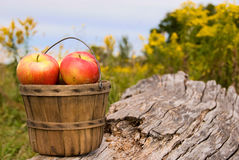 Apples in bushel basket Stock Images