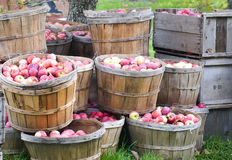 Apples in bushels. Freshly picked apples in bushels and crates, still sitting in the orchard Stock Images