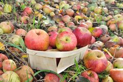 Apples for cider production Royalty Free Stock Photo