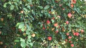 Apples. Close up shot Cluster of red apples on a tree stock footage