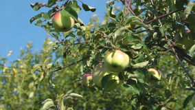 Apples. Close up shot of apples on the tree stock video footage