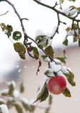 APPLES  cold winter snow beauty Royalty Free Stock Photos