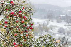 Apples covered with fallen msnow Stock Image