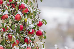 Apples covered with fallen snow Royalty Free Stock Photography