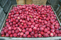 Red Apples. Shipping bin full of red apples for export Stock Photos