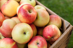 Apples in a crate. Lot of yellow and red apples in an old wooden crate Stock Image