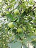 apples crate organic 免版税图库摄影