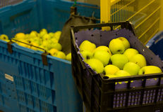 Apples in crates. Golden delicious apples in plastic crates on plantation Royalty Free Stock Image