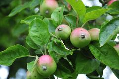 Old cultivar apple on tree. Apples of cultivar Bohnapfel growing on tree in orchard royalty free stock photography