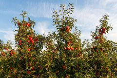Apples on cultivated apple trees. Lots of red apples hanging on cultivated apple trees in front of a light blue sky. May be used as concept shot of harvest royalty free stock photo