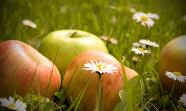 Apples and daisy flowers Stock Images