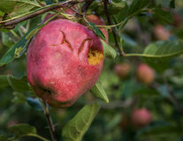 Apples damaged by hail storm Royalty Free Stock Photos