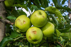 Apples damaged by hail storm Stock Images