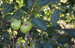 Apples damaged by hail storm. Picture of a Apple damaged by hail storm Royalty Free Stock Images