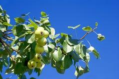 apples delicious ripe Στοκ Εικόνες