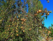 Apples in the Desert. Ripening apples in an abandoned orchard in the Crooked River National Grassland - near Culver, OR royalty free stock photo