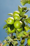 Apples - detail Stock Images