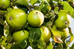 Apples - detail Stock Photos