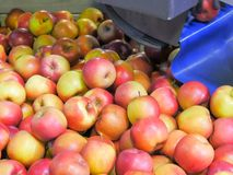 Apples drop into a rotating bin after being sorted by size and prior to being graded and packed. Huonville, tasmania is famous for its apple harvest royalty free stock photo
