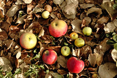 Apples on dry leaves Royalty Free Stock Image