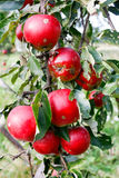 Apples in the ecological orchard Stock Photos