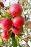 Apples in the ecological orchard Stock Image